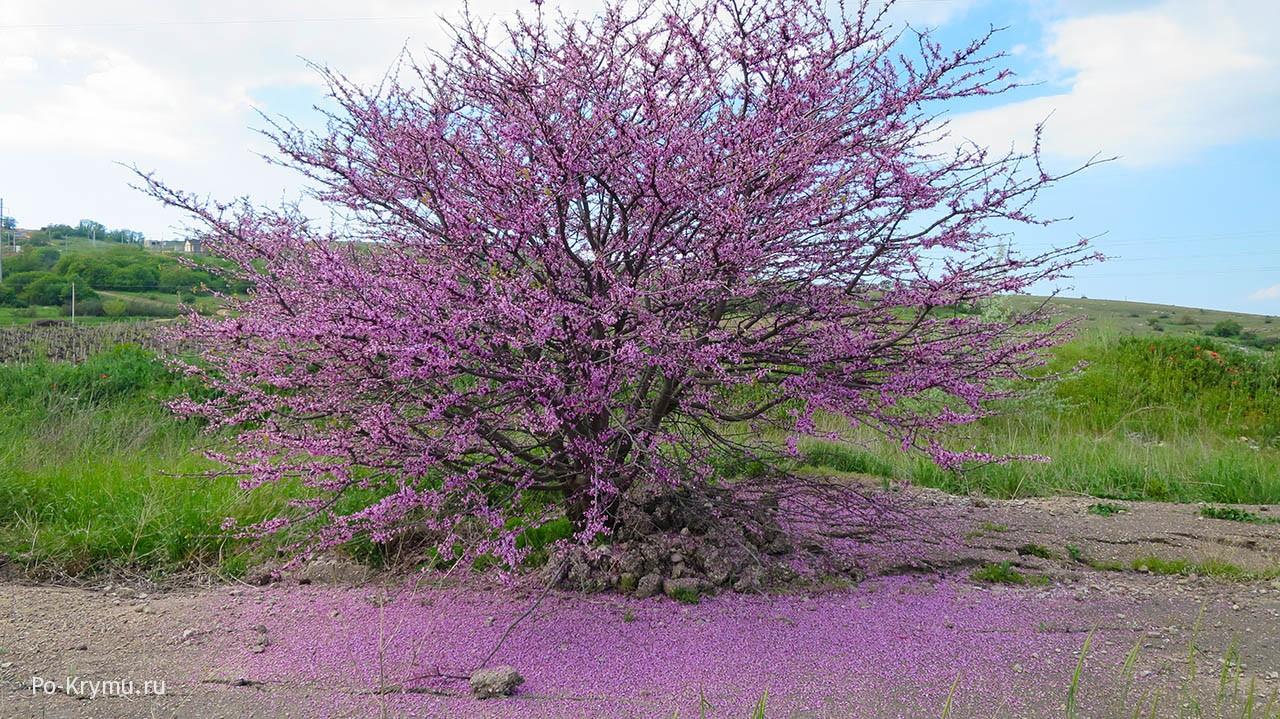 Багрянник (церсис, иудино дерево).