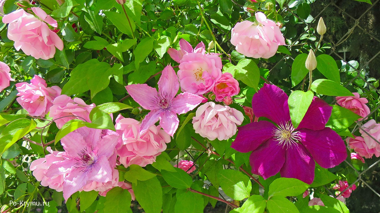 Розы и клематисы - живая изгородь.