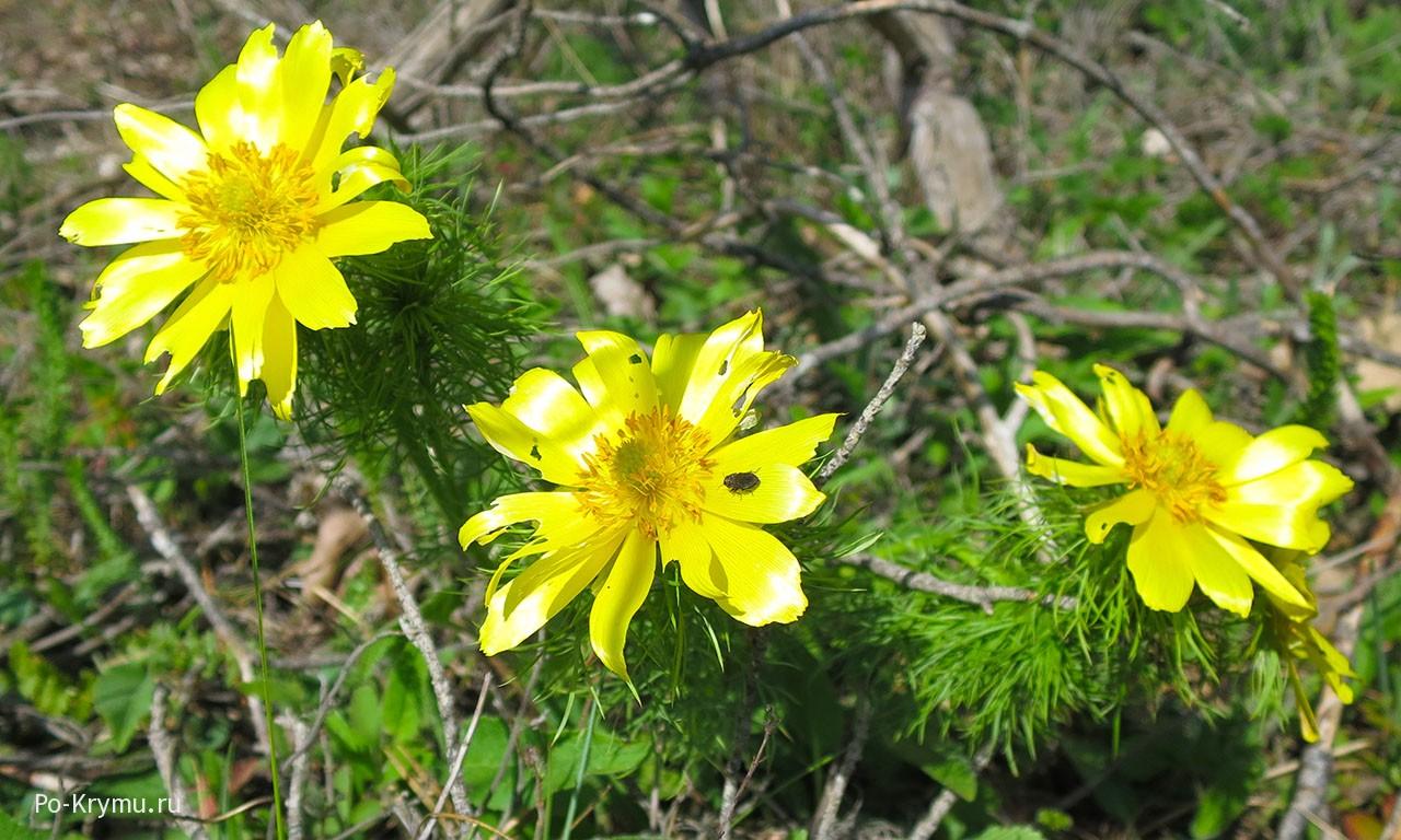 Adonis, горицвет, адонис весенний, желтоцвет
