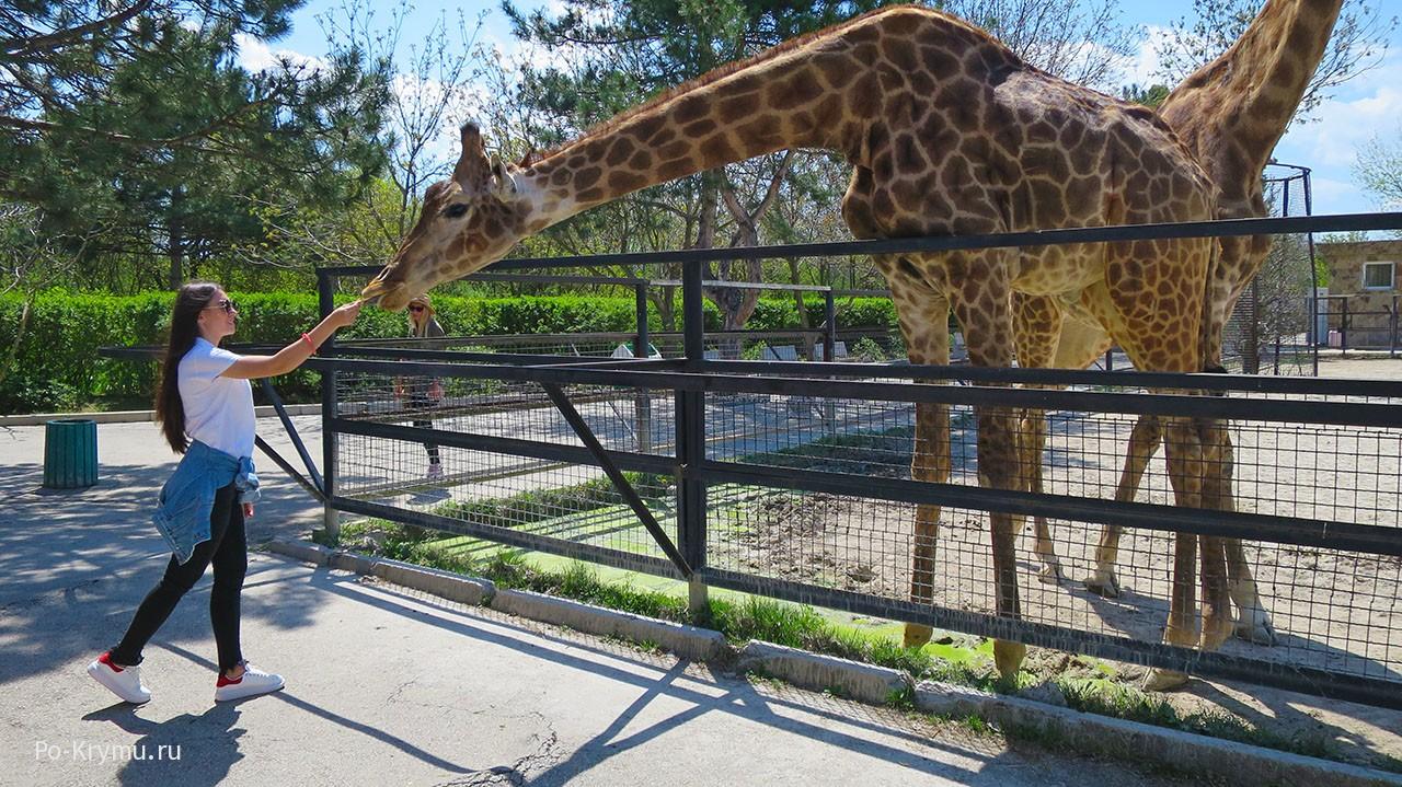 Крым, зоопарк Тайган, кормление жирафов
