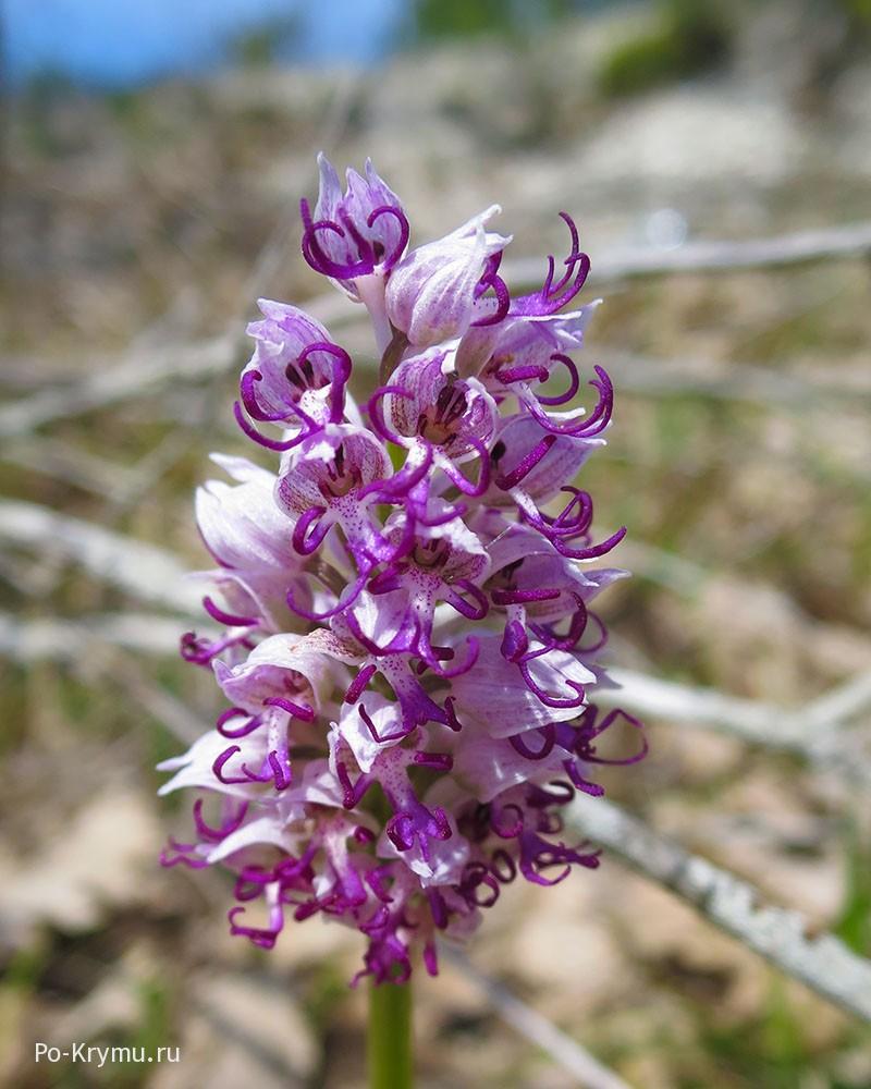 Орхидея ятрышник обезьяний.