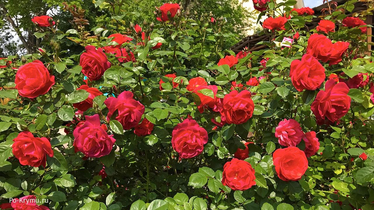 Крым, плетистые розы.