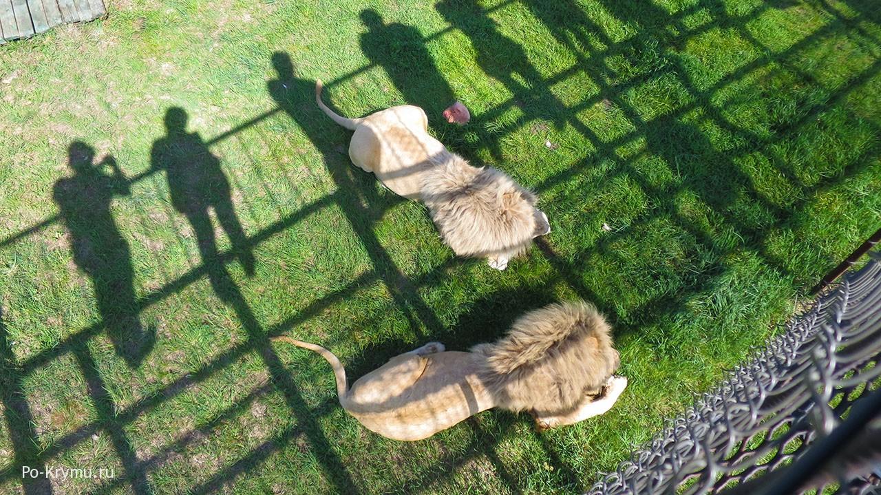 Когда в Тайгане кормят львов - в 10 и 16 утра.