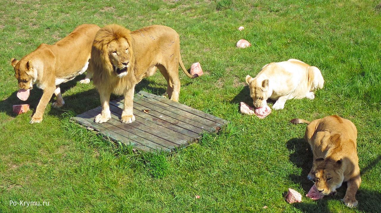 Глава львиного прайда.
