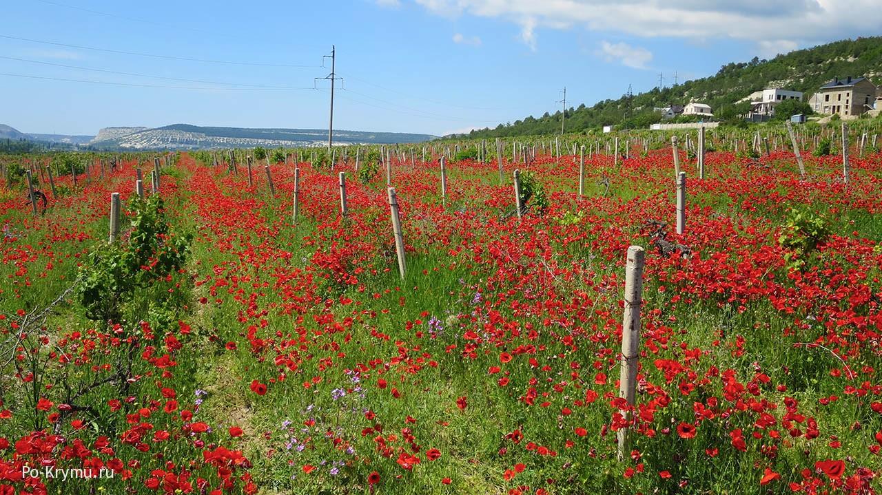 Что цветет в мае в Крыму - маки.