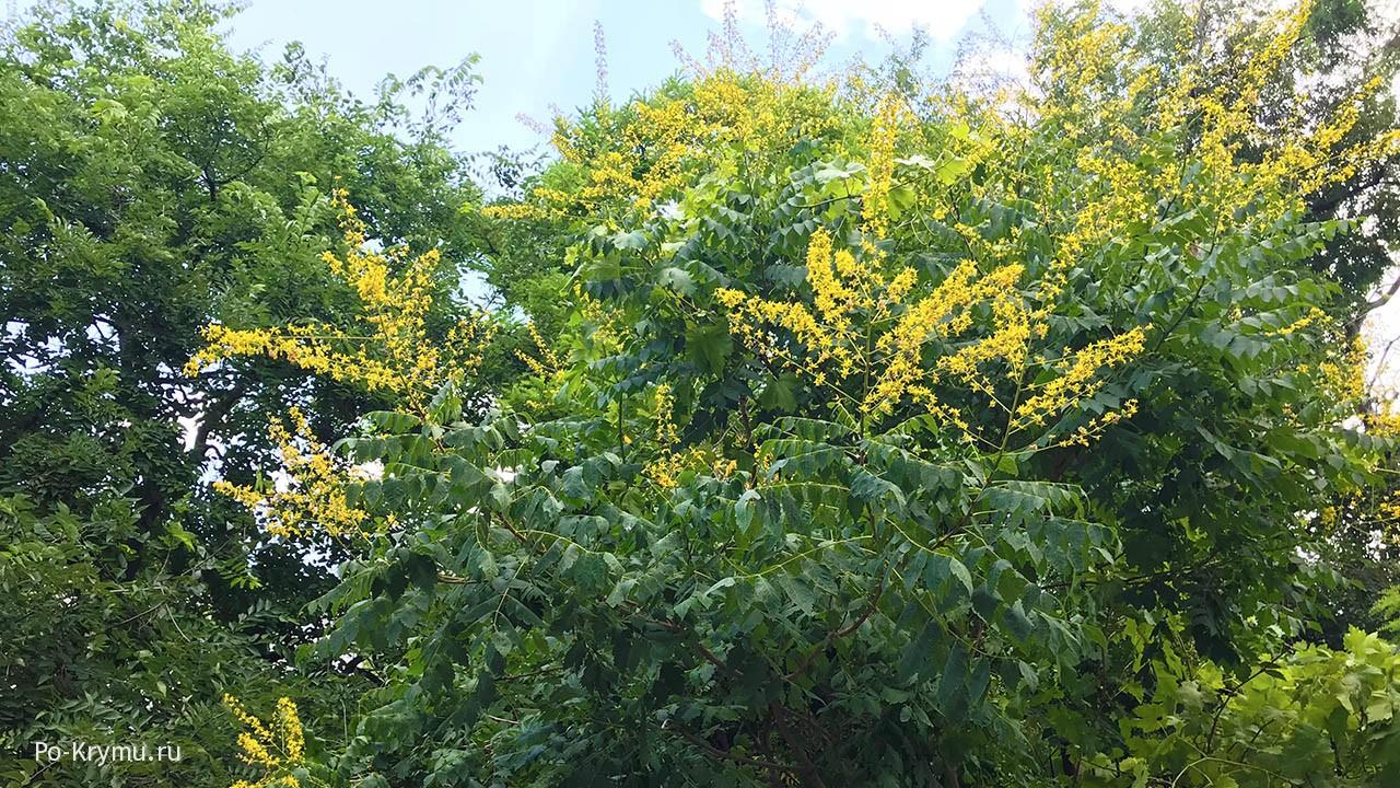 Кёльрейтерия метельчатая (мыльное дерево).