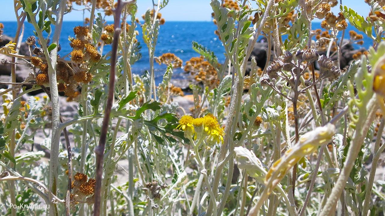Что цветет в Крыму в июле.