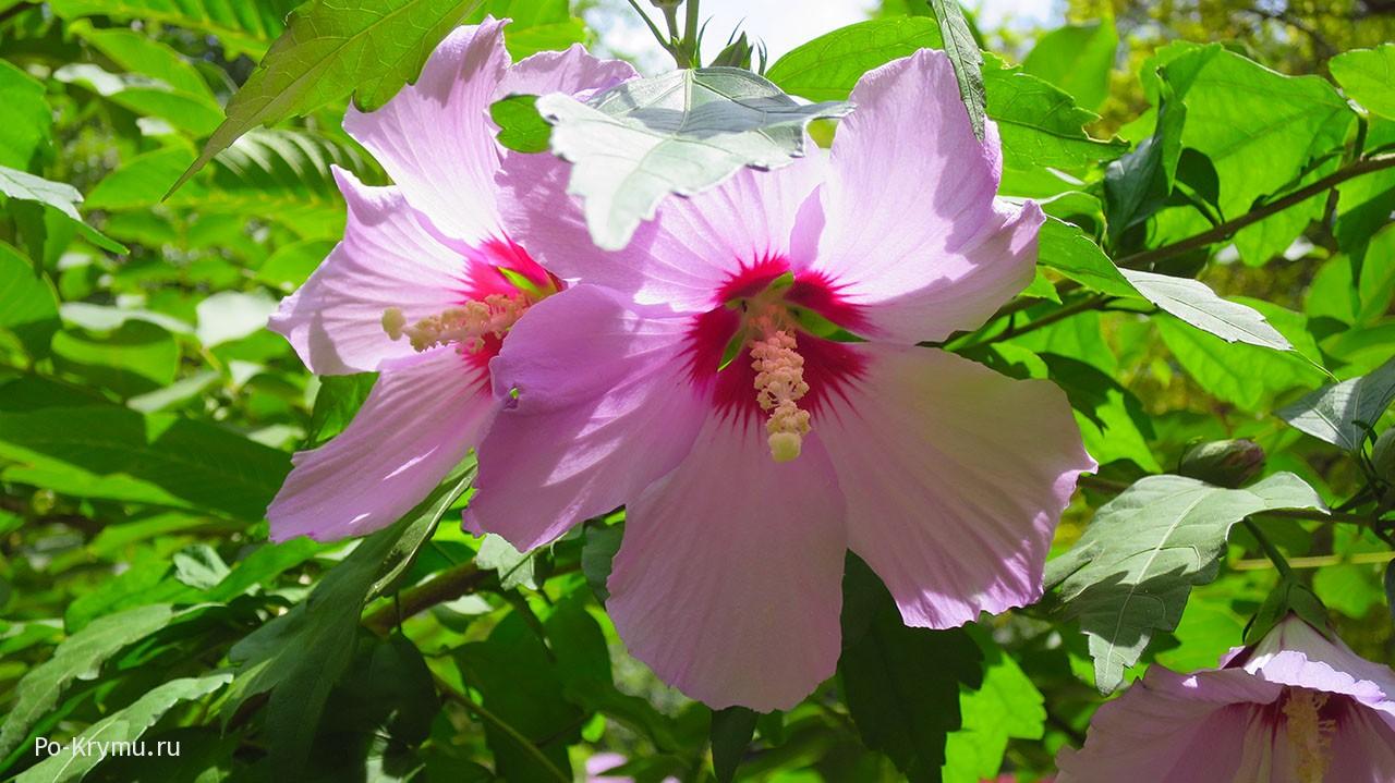 Гибискус сирийский, розовый.