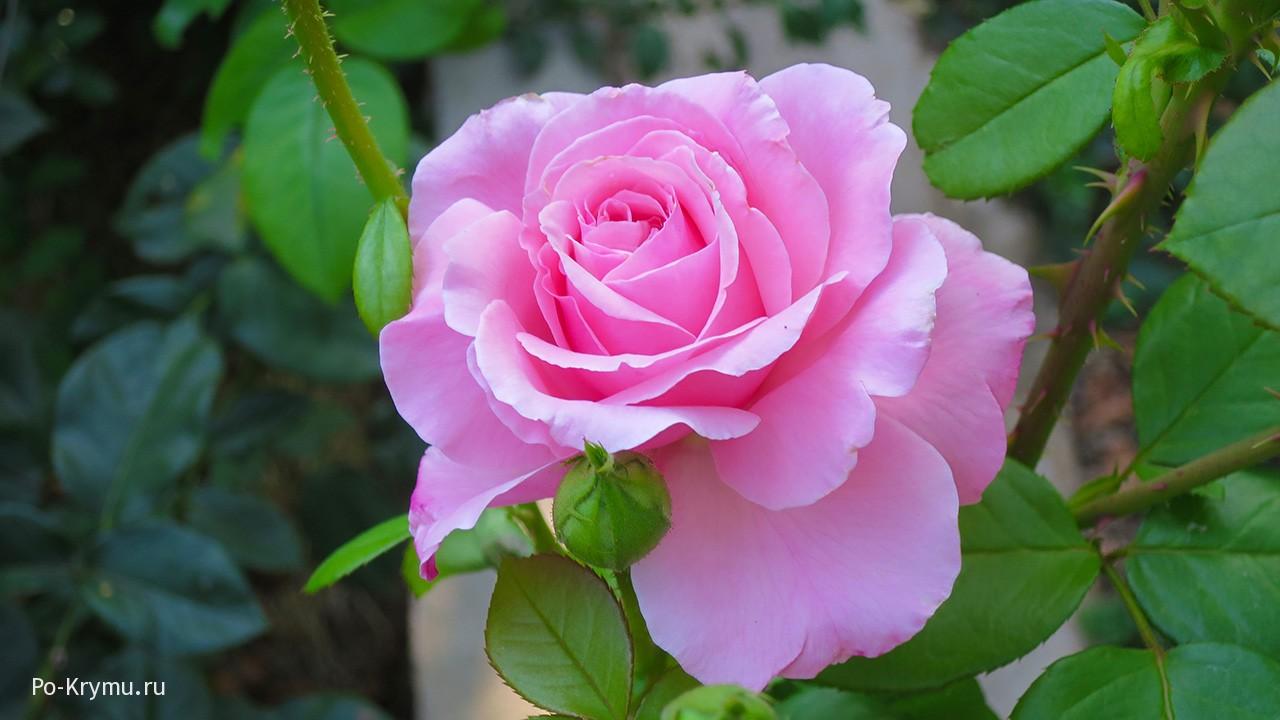 Что в июле цветет в Никитском ботаническом саду