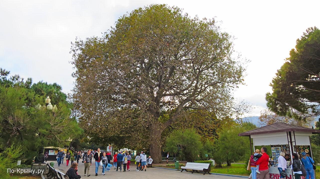 Большие деревья в Крыму - Платан Айседоры Дункан в Ялте