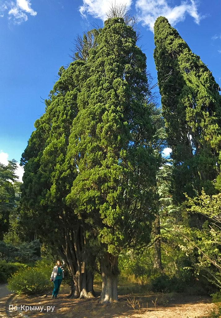 Кипарисы в парке Массандры