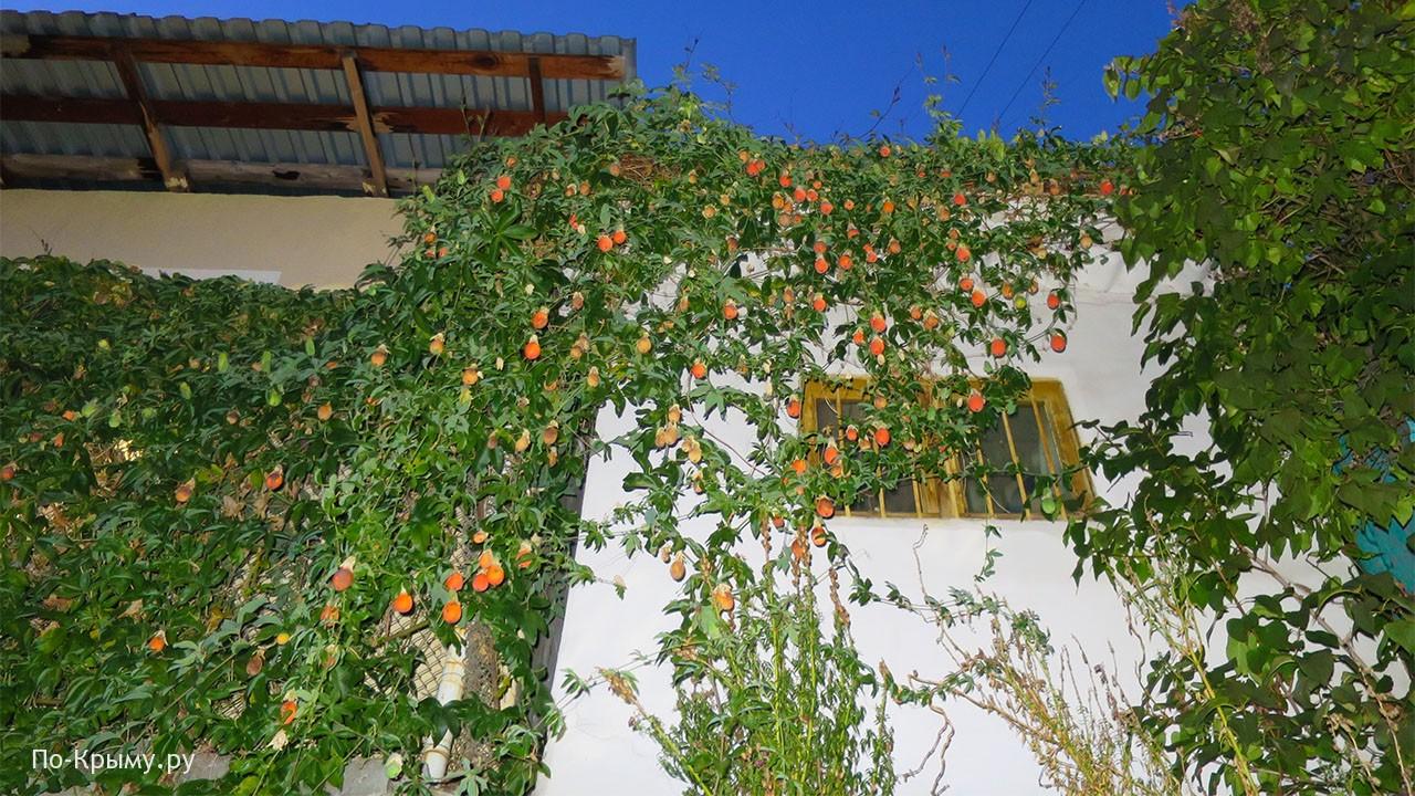 Фото экзотического крымского фрукта - пасифлоры