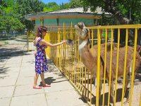 Добродушные ламы в симферопольском зоопарке