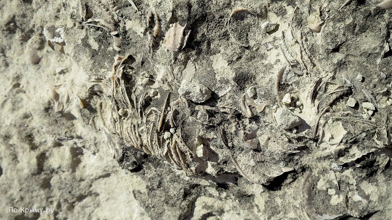 Двустворчатые моллюски. Окаменелости Тепе-Кермена