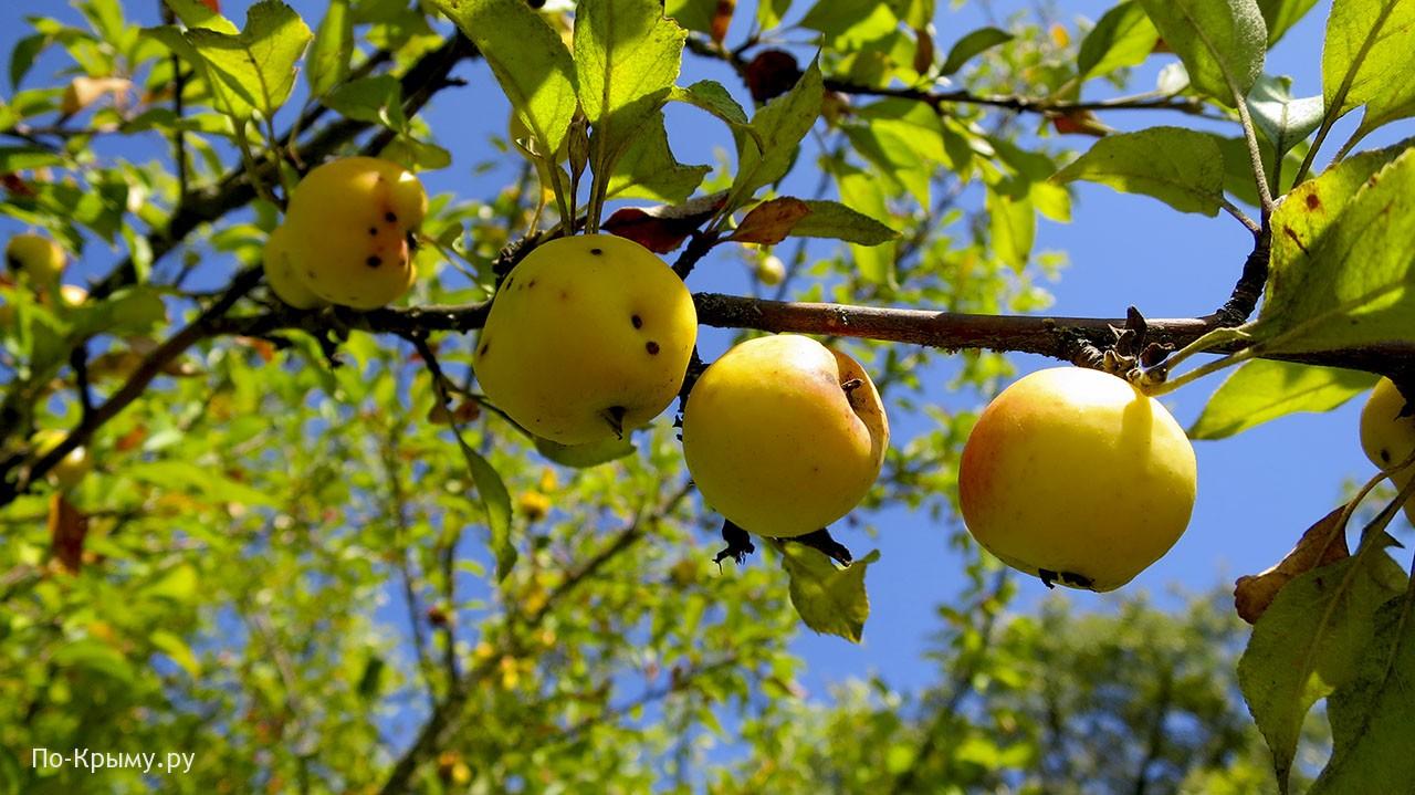 Байдарская долина, лесные яблоки