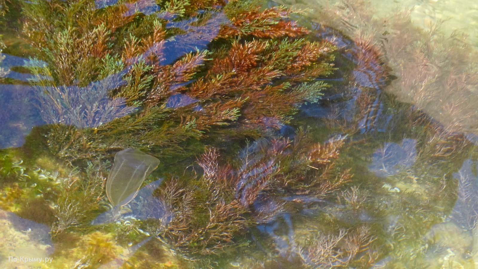 Гребневик берое, балаклавское побережье, Севастополь