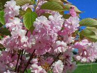 В Крыму цветет сакура