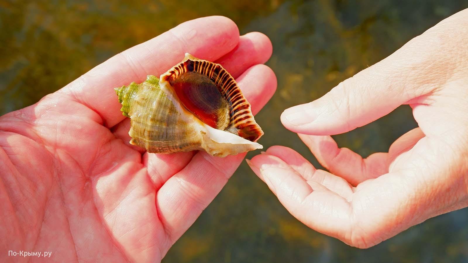 Черное море, моллюск рапана