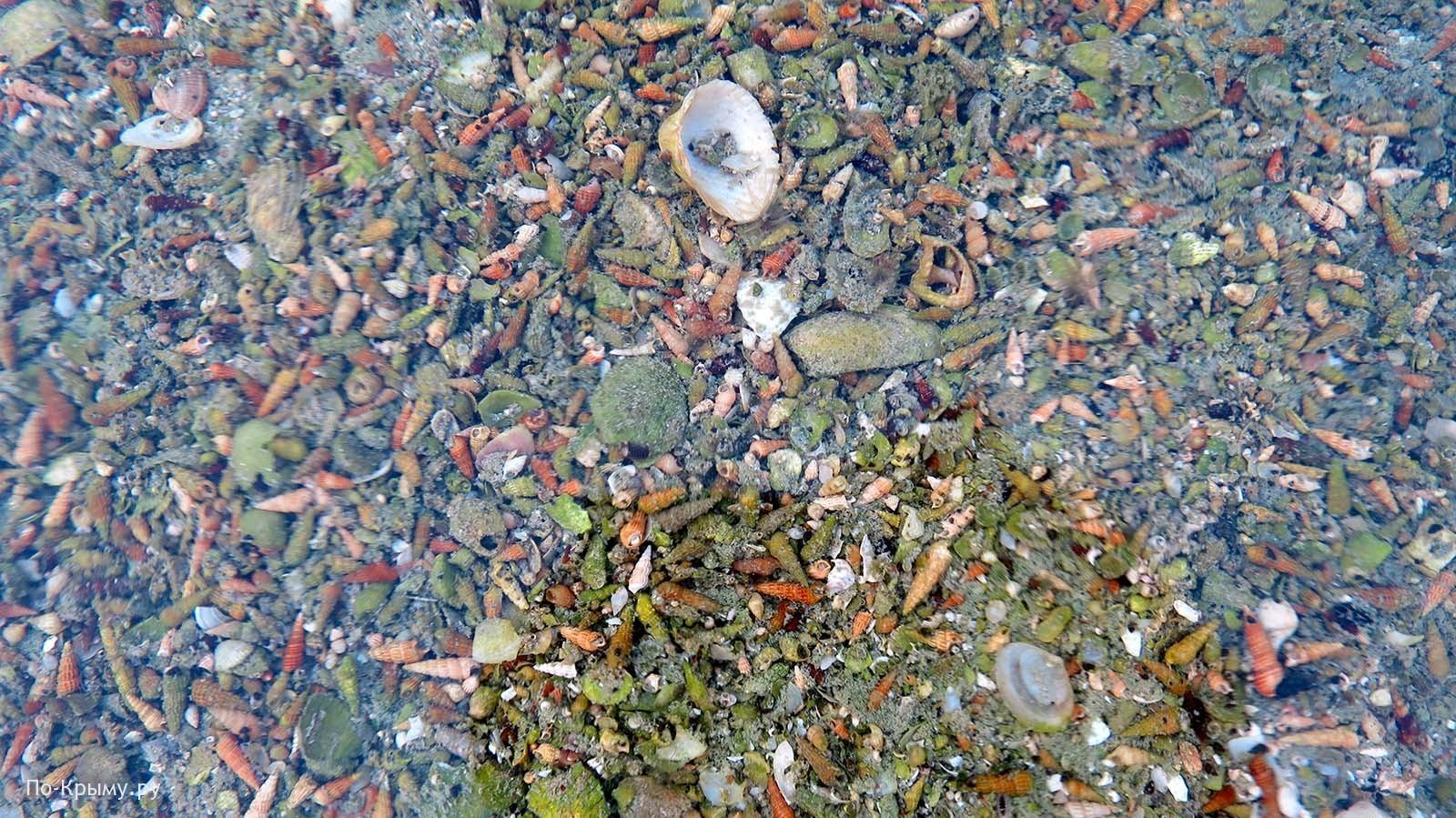 Моллюск биттиум сетчатый Черное море
