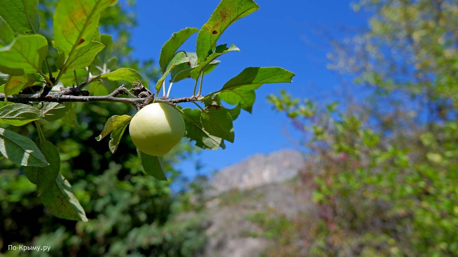 Ущелье Ашлама-Дере, яблоня