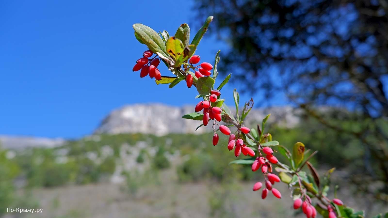 Долина Биюк Ашлама-Дере, спеет барбарис