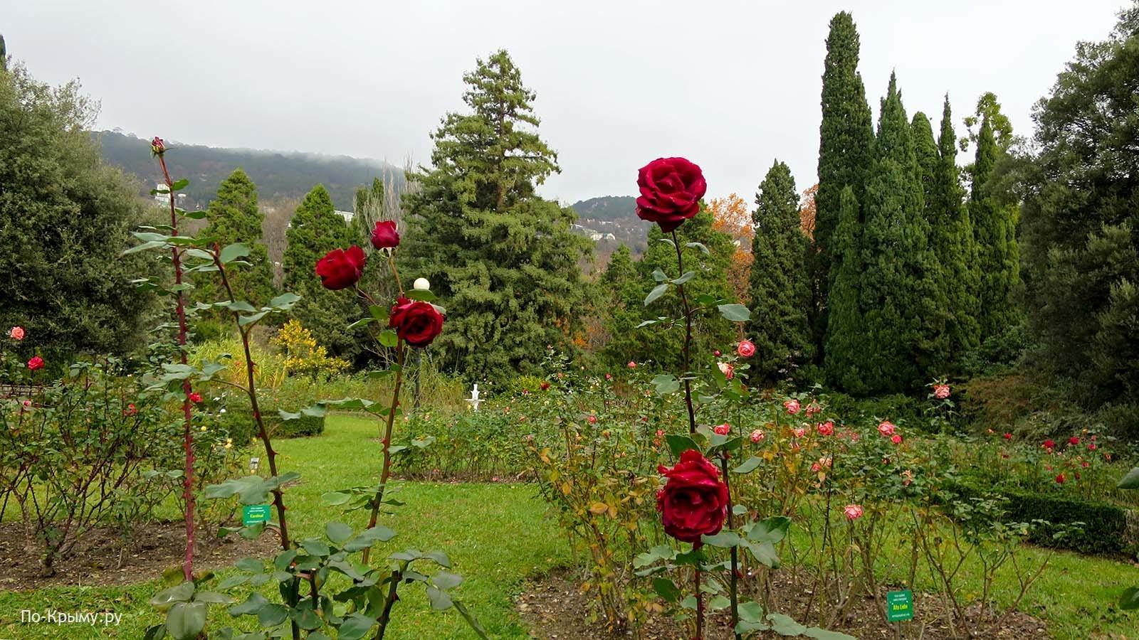 Розы Никитского ботанического сада