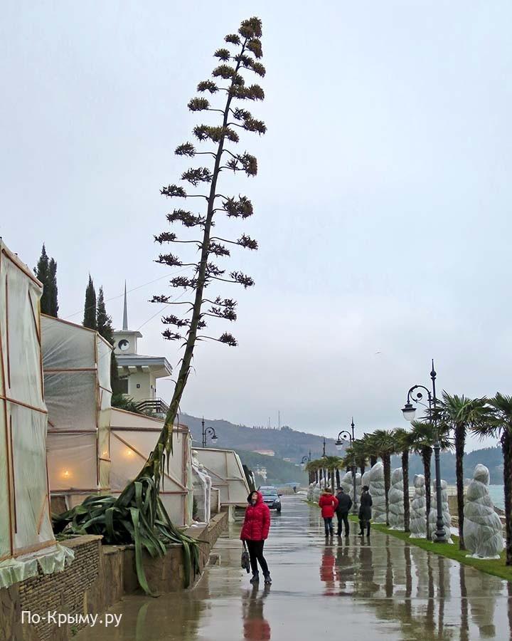 Крым, агава цветет