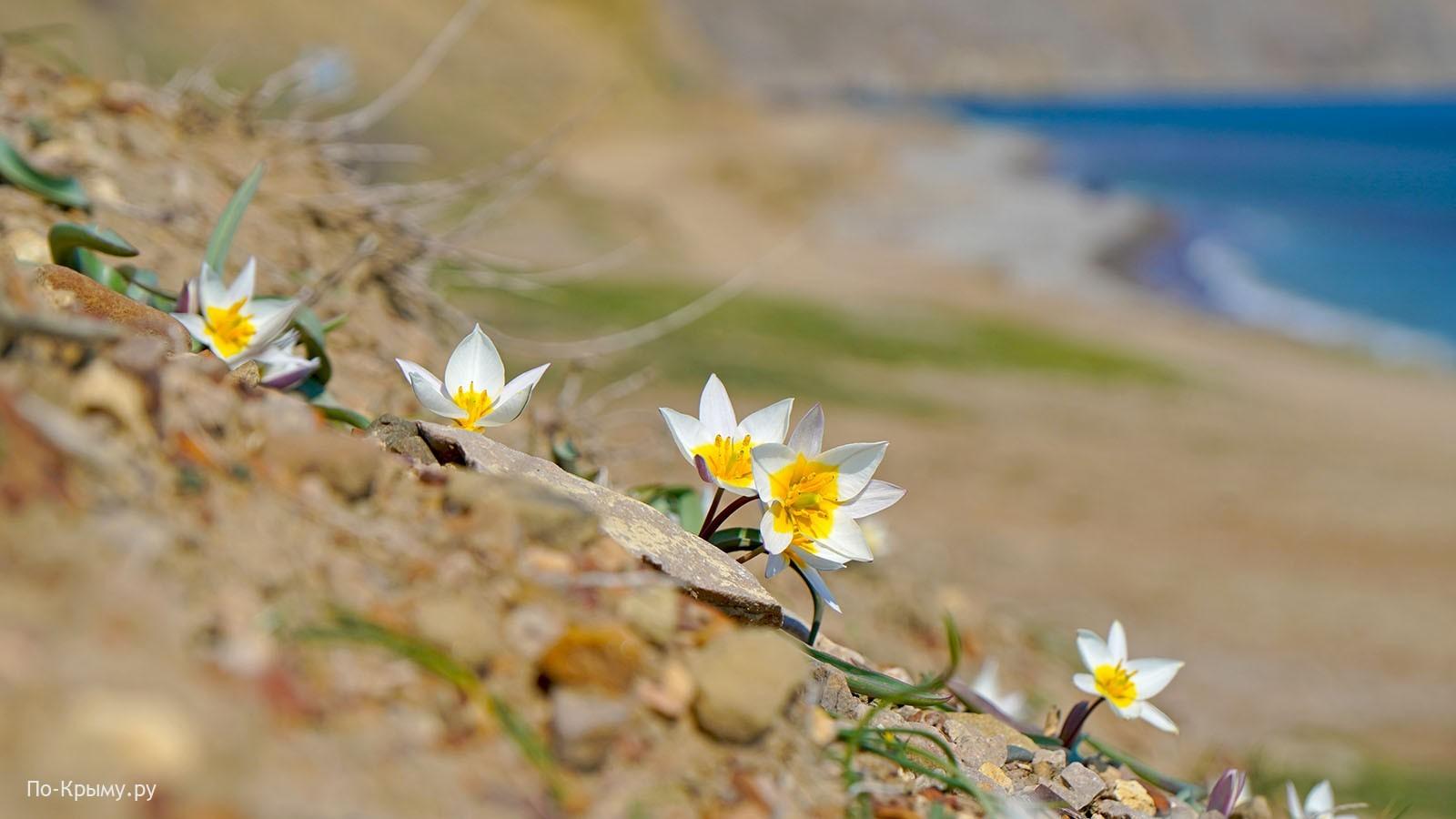 Коктебель, Лисья бухта, тюльпан двуцветковый