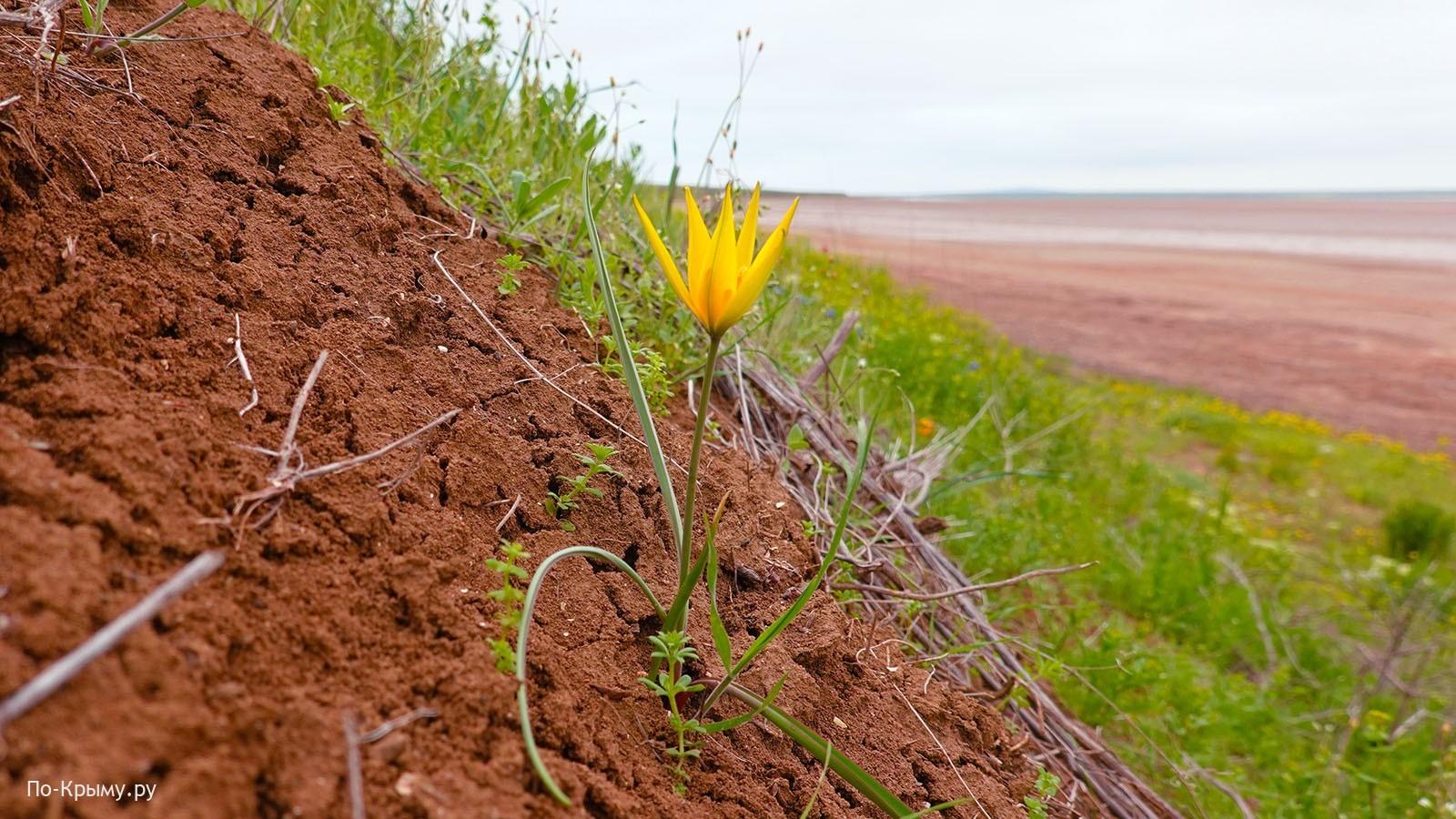Краснокнижный тюльпан Бибирштейна, Опук, Крым