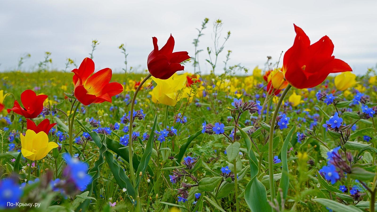 Краснокнижный тюльпан Шренка, Опук, Крым