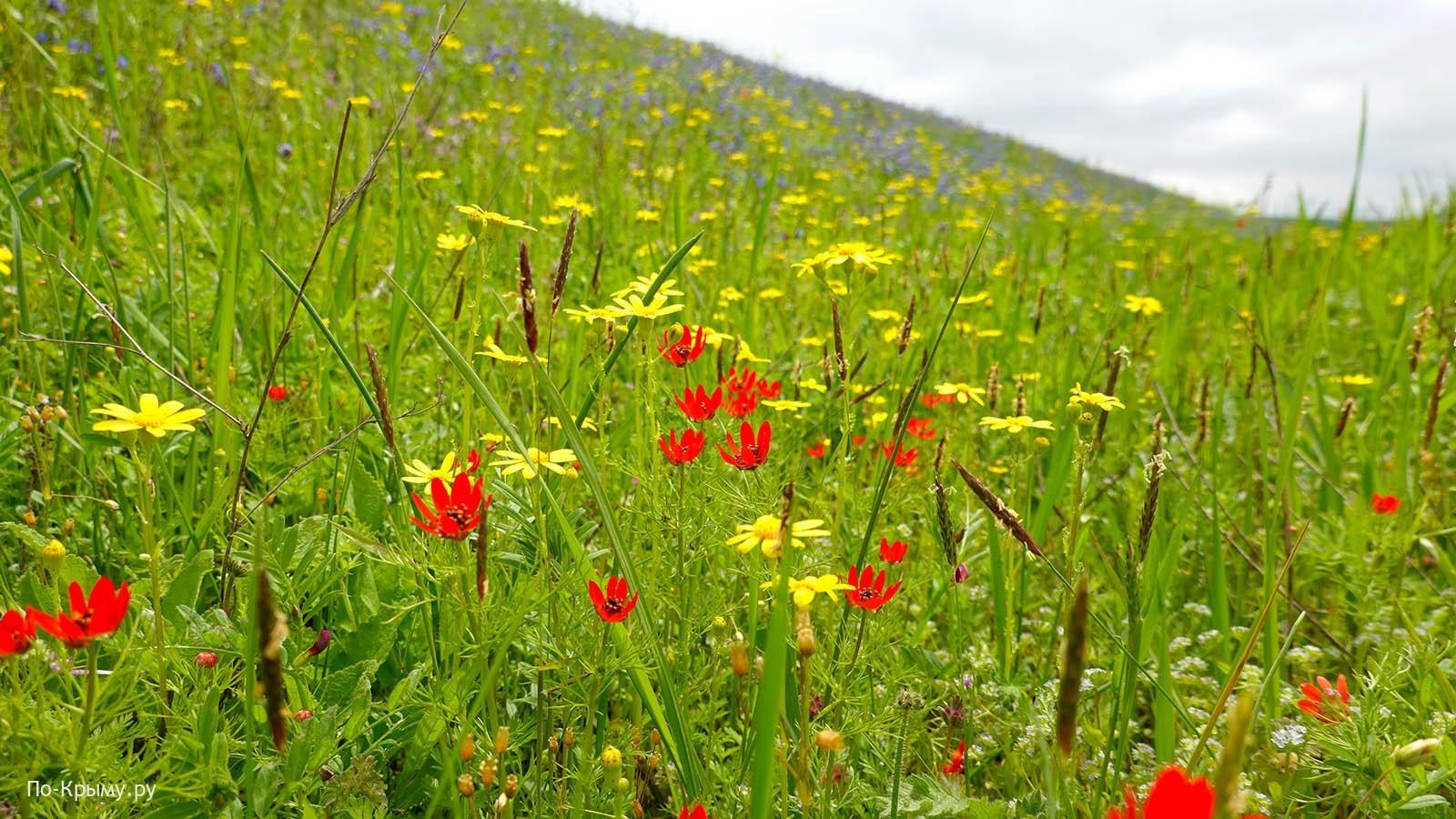 Керченский полуостров, весна, горицвет цветет