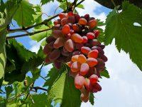 Собираем крымский виноград