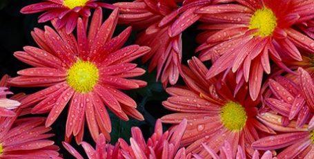«Бал хризантем» в Никитском ботаническом саду. Фотоотчет